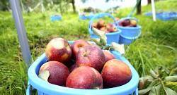 戸田農園りんご
